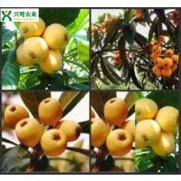 重庆枇杷苗管理方法,种植技术,基地 批发 价格