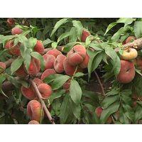 金秋红蜜桃树苗品种