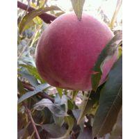 极早熟桃树品种春雪