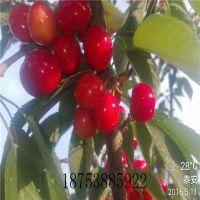 热销吉塞拉樱桃苗 嫁接矮化樱桃苗价格 2年1.5米高1公分高产成苗 山东百亩种植基地