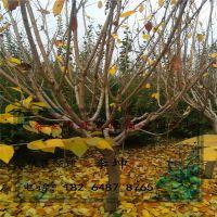 宿心园艺场销售樱花 道路绿化 9 10公分左右樱花树