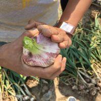 大蒜种子 优质大蒜种子 金乡大蒜种子供应 瑞峰牌