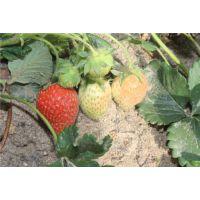 龙鑫苗木(在线咨询)|湘西章姬草莓苗|章姬草莓苗基地