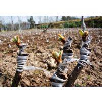 泰山1号猕猴桃树苗批发 猕猴桃树苗哪里种植