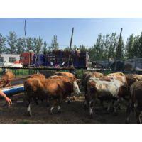 鲁西黄牛种牛