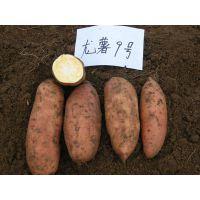 郑州红薯苗龙薯9号濮阳现代农业脱毒红薯苗基地