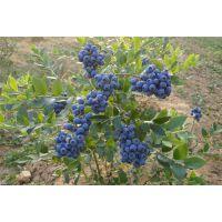 双桥蓝莓苗|百色农业|蓝莓苗木