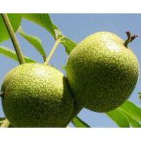 直销新品种果树苗 薄壳核桃树苗 当年结果 嫁接苗保成活