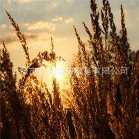 出售自然干稻草 造纸原材料 种植蘑菇食用菌原料 建筑原料稻草