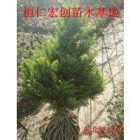 东北红豆杉盆景、东北红豆杉小苗、东北红豆杉扦插苗