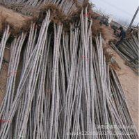 常年批发绿化树苗 107 108 速生杨 杨树苗 小杨树