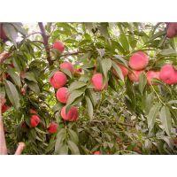 早熟桃树苗有哪些品种?泰安佳丽园艺大量供应优质早熟桃苗