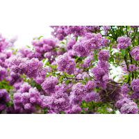 丁香苗木种植基地、陕西丁香树苗批发、营养杯紫丁香树苗周至园林绿化灌木苗圃