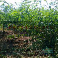 品种映霜红成苗 高度1.5米桃苗价格 宿心园艺场销售地径0.8公分