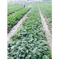 河源白草莓苗,志达园艺场(图),白草莓苗栽培
