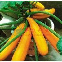 香蕉瓜种子 金皮西葫芦种子 阳台盆栽蔬菜种子 8粒装