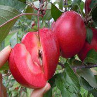 红色之爱,红色之爱苹果苗价格 1公分以上红肉苹果树苗