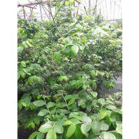 蓝莓树苗直销,扬州市蓝莓苗,仁源农业科技