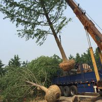 邳州30公分银杏树多少钱一棵米胸径30cm实生银杏树价格低量大树形好