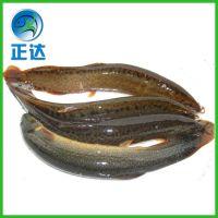水产泥鳅苗养殖 泥鳅鱼苗种苗 各种正品台湾泥鳅苗