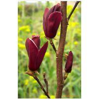 供应:紫玉兰种子,白玉兰种子,天竺桂种子等