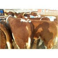 肉牛繁育|西门塔尔牛动物种苗|肉牛种苗|西门塔尔养殖
