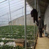 大棚草莓苗供应 草莓苗优质新品种