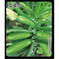 艾菲尔 西葫芦种子 抗病毒病、白粉病
