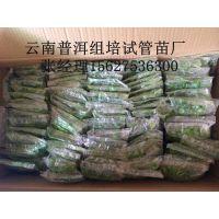 越南香蕉组培苗厂丨河内大量供应丨高州市源科组培苗繁育基地