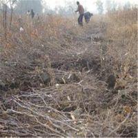 志森园艺供应枣树苗品种 3厘米金丝小枣枣树苗价格 优质 高产 抗病
