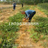 大红袍花椒苗多少钱 花椒树苗 适合南北方种植苗 当年结果易成活