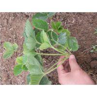 泰安龙泽苗木(在线咨询)、泰州丰香草莓苗、丰香草莓苗批发