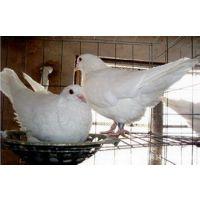 红色大鼻子观赏鸽黑色元宝鸽特大元宝鸽价格白羽王肉鸽养殖场