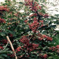 花椒树苗批发大红袍 根系好 苗好成活率高 抗病虫害 适应能力强