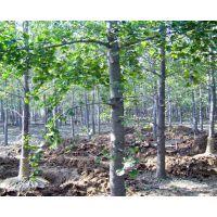 江苏15公分银杏树特价 银杏树为行道树树种
