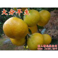 特早熟柑橘中的大分一号品种优良 丰产稳产