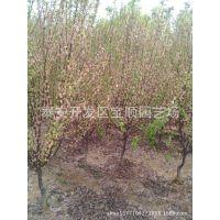 重瓣榆叶梅 榆叶梅树苗、木槿供应 榆叶梅价格 园林绿化植物