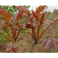 去翅红油香椿种子零售供应价格