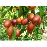 供应金丝4号枣树苗哪里有,枣树苗价格,金丝品种枣树苗