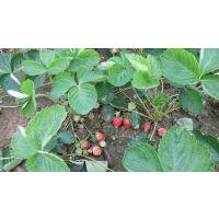 红颜1号草莓苗