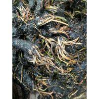 嘉祥水景专业种植睡莲种苗 睡莲苗种植施工 睡莲种苗低价销售
