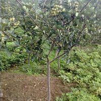 山楂树几年可以坐果 种植山楂树效益怎么样