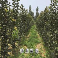 3年生梨树成苗 4-5公分梨树苗价格