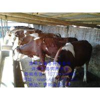 西门塔尔牛最新价格咨询、厂家西门塔尔牛最新批发价、西门塔尔牛养殖场咨询电话15774404666
