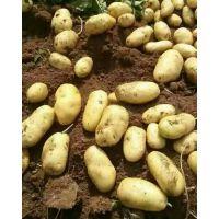 围场土豆代收马铃薯种子销售15512361144