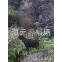 云南滇元养殖场供应放牧本地黑山羊怀孕母羊30公斤-45公斤种母羊