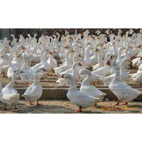 大量出售鹅苗鸭苗 包回收包技术 免费搭建鹅鹏