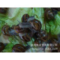 【优质推荐】优质品种散大蜗牛 食用散大蜗牛 诚信经营 品质保证