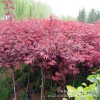 基地批发日本红枫树苗 美国红枫小苗 园林绿化苗木 乔木 品质优