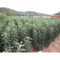 红富士苹果苗亩产多少斤?泰安润佳农业大量供应优质高产红富士苹果苗